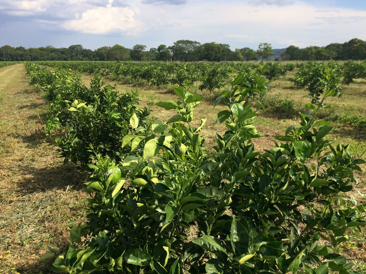 Paraguay Orange Plantation Dec 17