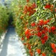 Invest in greenhouse tomatos