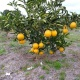 PAGI orange plantation June 2019