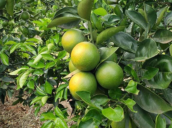 oranges growing on orange tree in Paraguay