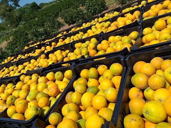 freshly harvested investor oranges on our orange plantation in Paraguay