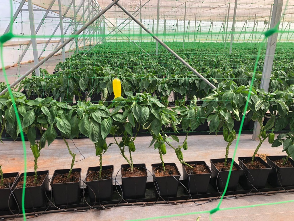 2 Month Old Pepper Plants