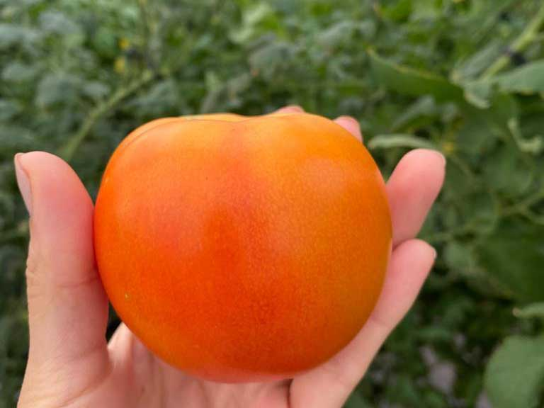 Ripe Greenhouse Tomate