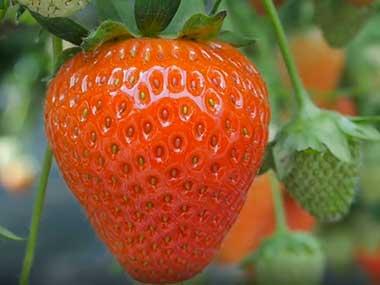 hydroponic greenhouse strawberry