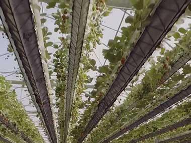 hydroponic strawberry greenhouse