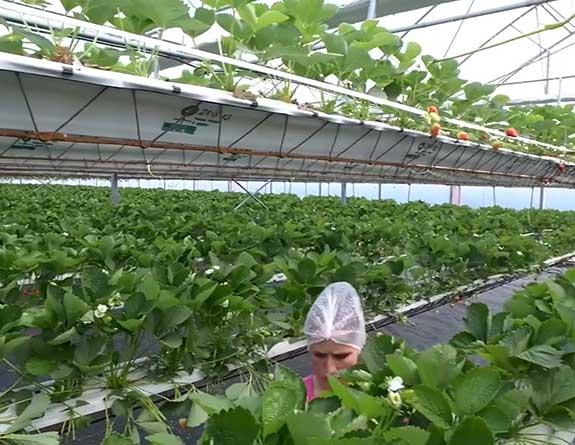 hydroponic strawberry greenhouse harvesting